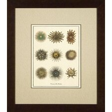 Varieties of Sea Urchins Giclee Print