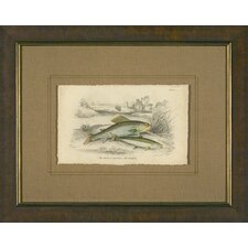 Grayling Framed Print