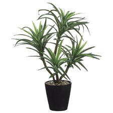Dracena (P) Re-Ship Box Floor Plant