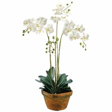 "36"" Phalaenopsis Orchid Plant with Terra Cotta Container in White"