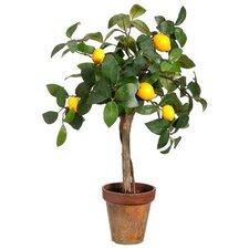 Young Lemon Round Tapered Topiary in Pot