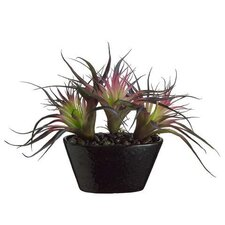 Tillandsia Cactus Desk Top Plant in Pot