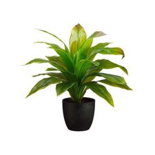 Dracena Floor Plant in Planter