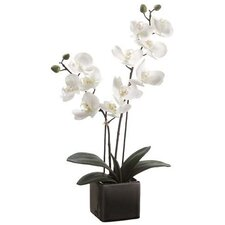Phalaenopsis Orchid Plant in Cream Pot