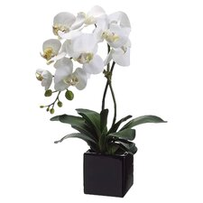 Phalaenopsis Plant in Ceramic Pot