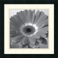 Glowing Gerbera Framed Photographic Print