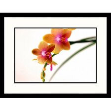 Florals Orange Orchids on White Framed Photographic Print