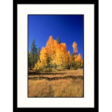 Landscapes 'Aspen Tree Fall Foliage, Sierra Nevada, California' by Inga Spence Framed Photographic Print