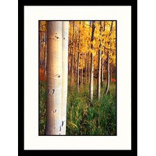 Landscapes 'Aspen Trees, Telluride, Colorado' Framed Photographic Print