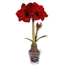 Amaryllis in Vase