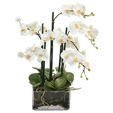 Phalaenopsis in Square Glass