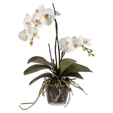 Orchid Phalaenopsis in Glass Vase