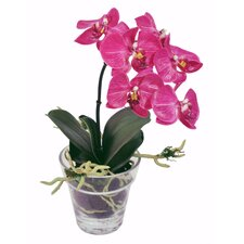 Phalaeopsis Plant in Glass Pot