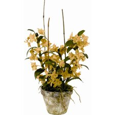 Potted Dendrodium Orchid