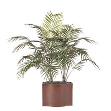 Deluxe Dwarf Palm Tree in Planter