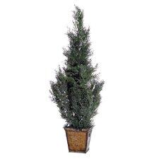 Cedar with Cones Cedar Tree in Planter