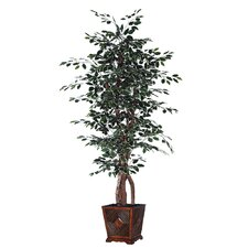Blue Ridge Fir Square Executive Variegated Tree in Pot