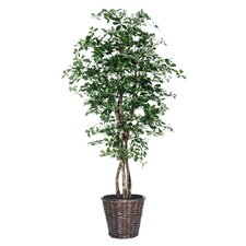 Blue Ridge Fir Executive Olive Tree in Basket