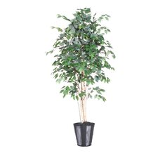 Blue Ridge Fir Executive Paper Birch Tree in Pot
