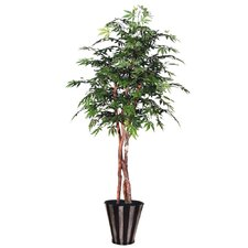 Blue Pencil Japanese Maple Heartland Tree in Pot