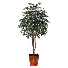 Blue Pencil Finger Aralia Heartland Tree in Pot