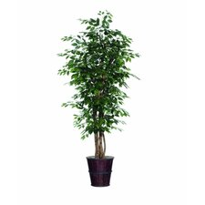 Blue Ridge Fir Executive Ficus Tree