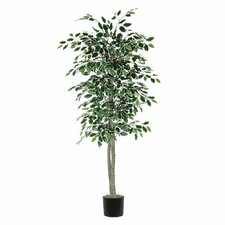 Nisswa Berry Variegated Ficus Tree in Pot