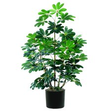 Extra Full Schefflera Tree