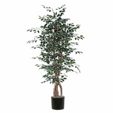 Ridge Fir Variegated Ficus Executive Tree in Pot