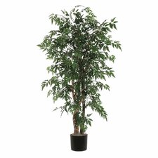 Ridge Fir Ming Aralia Executive Tree in Pot