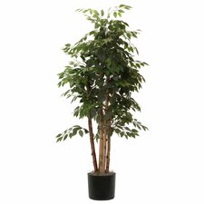 Ridge Fir Paper Birch Executive Tree in Pot