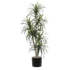 Ridge Fir Marginata Executive Tree in Pot