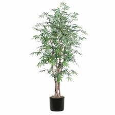 Ridge Fir Japanese Maple Executive Tree in Pot