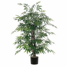 Japanese Maple Bush Tree in Pot