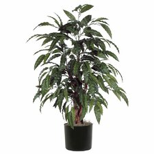 Mango Bush Tree in Pot