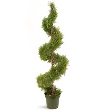 Juniper Spiral Round Topiary in Pot