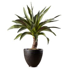 Sonoran Highlands Agave Desk Top Plant in Pot
