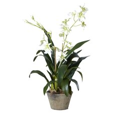 Double Odontoglossum Desk Top Plant in Pot