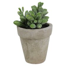 Sonoran Highlands Potted Moonstone Succulent Desk Top Plant in Pot