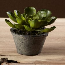 <strong>Sage & Co.</strong> Sonoran Highlands Potted Echeveria Succulent Desk Top Plant in Pot