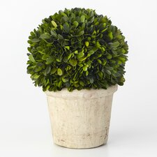 Boxwood Desk Top Plant in Pot