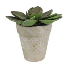 Sonoran Highlands Echeveria Succulent Desk Top Plant in Pot (Set of 6)