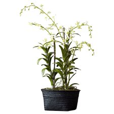 Fleur Dendrobium Orchid Plant in Basket (Set of 2)