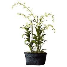Fleur Dendrobium Orchid Plant in Basket