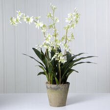<strong>Sage & Co.</strong> Triple Odontoglossum Desk Top Plant in Pot