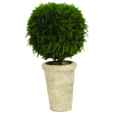 Cypress Single Ball Desk Top Plant in Pot