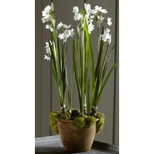 Fleur Potted Paperwhite (Set of 2)
