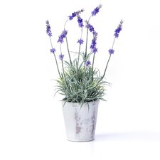 "<strong>Sage & Co.</strong> Potted Lavender Plant in 4"" Pot"