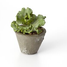 Sonoran Highlands Cabbage Succulent Desk Top Plant in Pot (Set of 2)