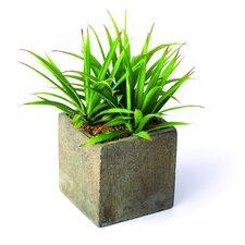 Sonoran Highlands Yucca Desk Top Plant in Pot (Set of 3)